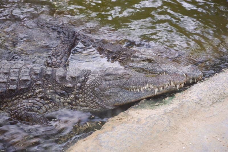 Two crocodiles lying together water embrasing skin wildlife loving. Amphibian closeup royalty free stock images