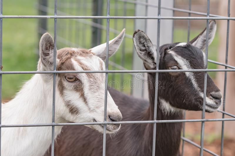 Two crossbred dairy goat kids. Behind a fence stock photos