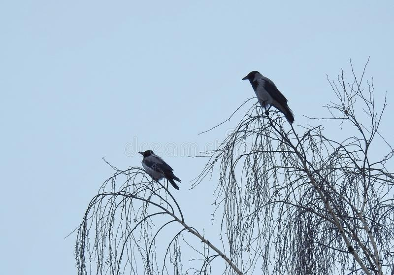 Two crow birds, Lithuania stock photo