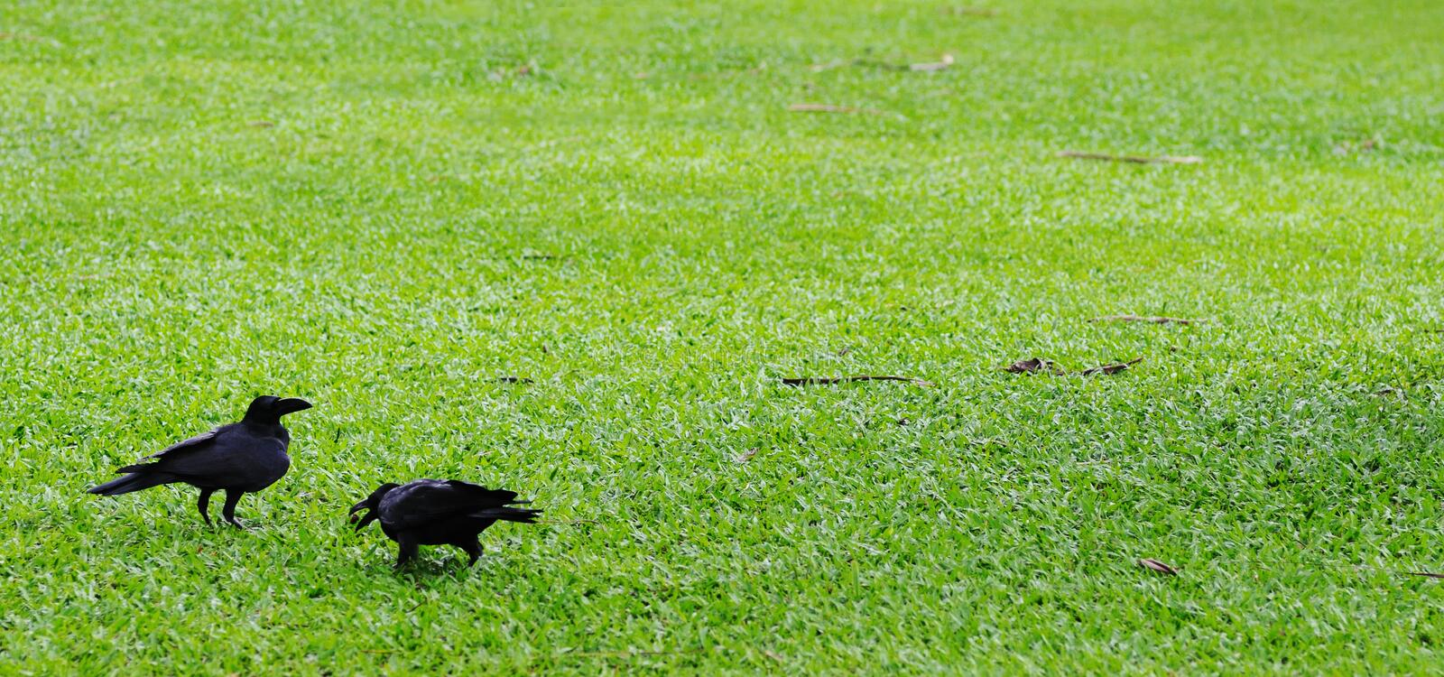 Download Two crows. stock photo. Image of bird, black, green, wild - 26250944