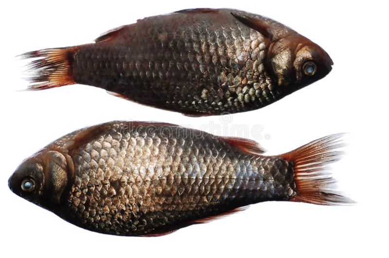 two crucian fish royalty free stock image