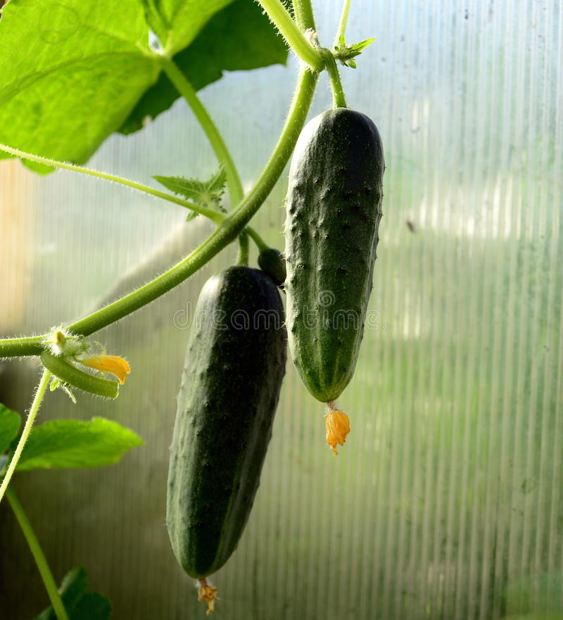 Two cucumber grow on a branch stock photography