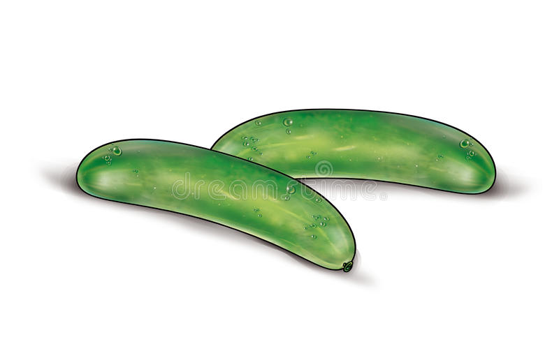 Two cucumbers on white. Two green cucumbers isolated on a white background. High resolution of the digital illustration for creating your beautiful still life vector illustration