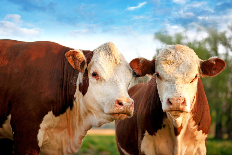 Two curious cows stock photography