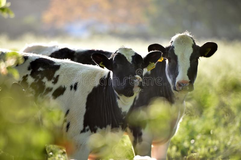 Two curious cows in the morning light royalty free stock photo