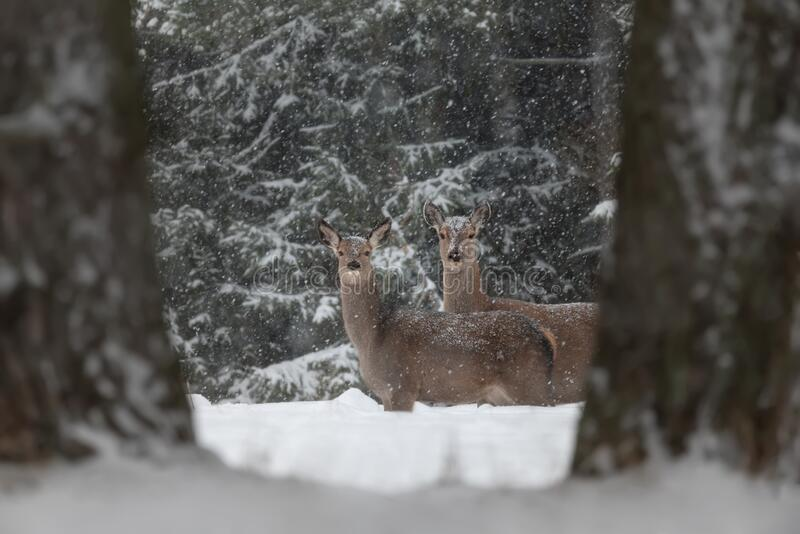 Two Curious Deer  Cervus Elaphus  Among Tree Trunks And Snowdrifts During The January Snowfall. Perfect Winter Wilflife Landscap. E In Natural Colors. Winter royalty free stock image