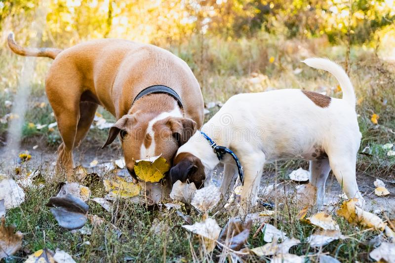 Two curious dogs sniff the ground outdoors. Grown up terrier and. Puppy on the walk with faces in autumn leaves stock photography