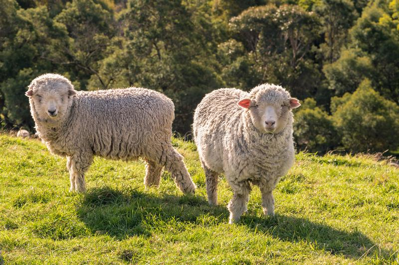Two curious merino sheep grazing on fresh grass. Closeup of two curious merino sheep grazing on fresh grass royalty free stock image