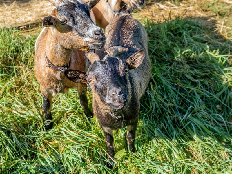 Two curious small goats on the Swiss Alps in Autumn - 1 royalty free stock photo