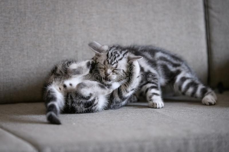 Two cute American cat kittens royalty free stock photo