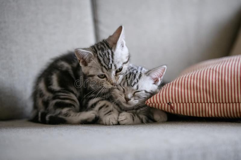 Two cute American cat kittens stock photos