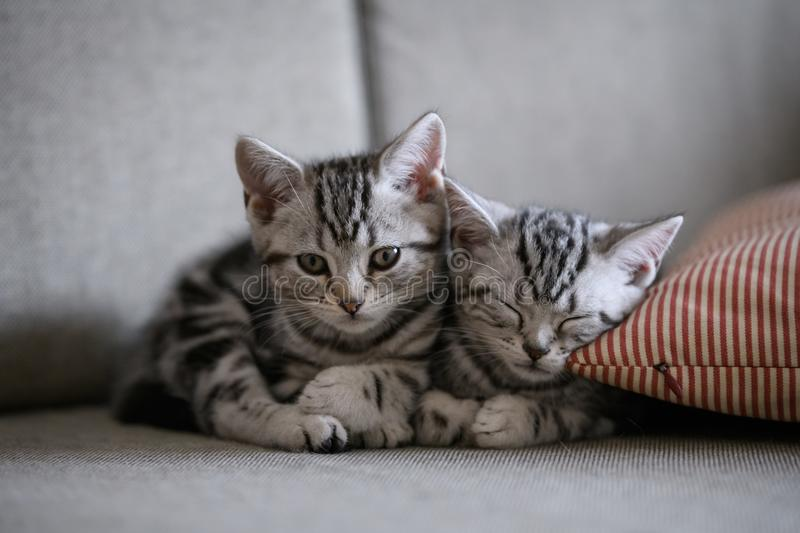 Two cute American cat kittens stock image
