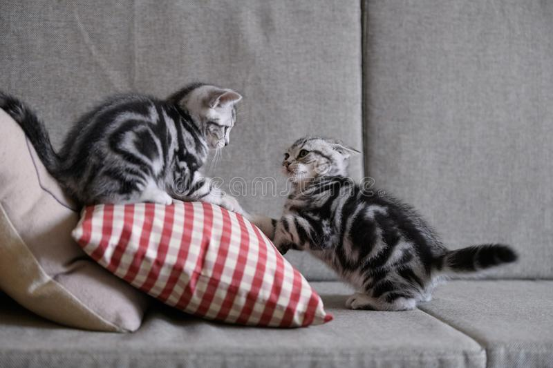 Two cute American cat kittens royalty free stock photos