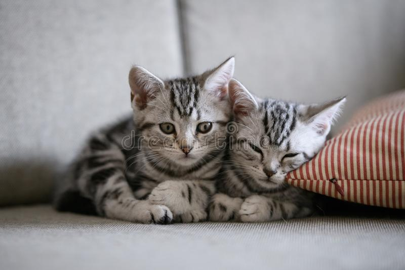 Two cute American cat kittens royalty free stock photography