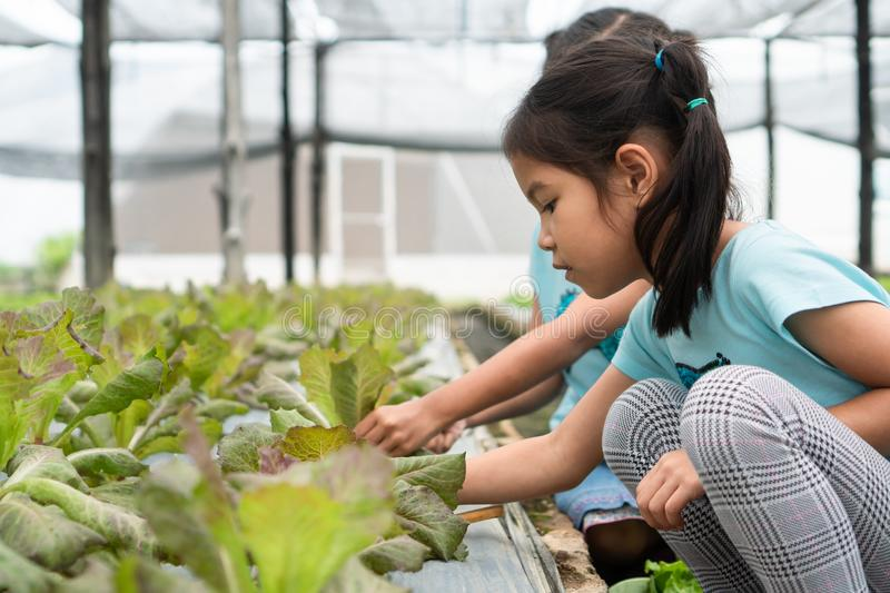 Two cute asian child girls harvesting fresh vegetables in organic hydroponic vegetable cultivation farm royalty free stock photos