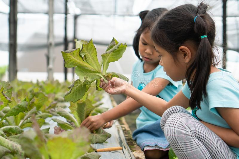 Two cute asian child girls harvesting fresh vegetables in organic hydroponic vegetable cultivation farm. With fun stock image