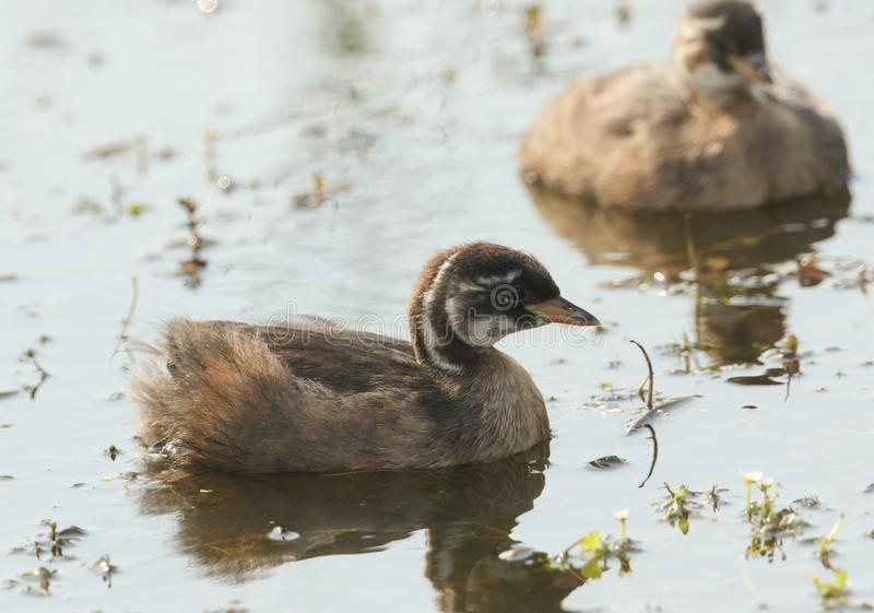 Two cute baby Little Grebe Tachybaptus ruficollis swimming in a lake hunting for food. Two sweet baby Little Grebe Tachybaptus ruficollis swimming in a lake stock photo