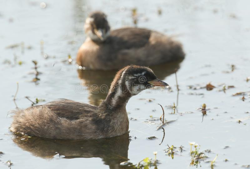 Two cute baby Little Grebe Tachybaptus ruficollis swimming in a lake hunting for food. Two sweet baby Little Grebe Tachybaptus ruficollis swimming in a lake stock photos