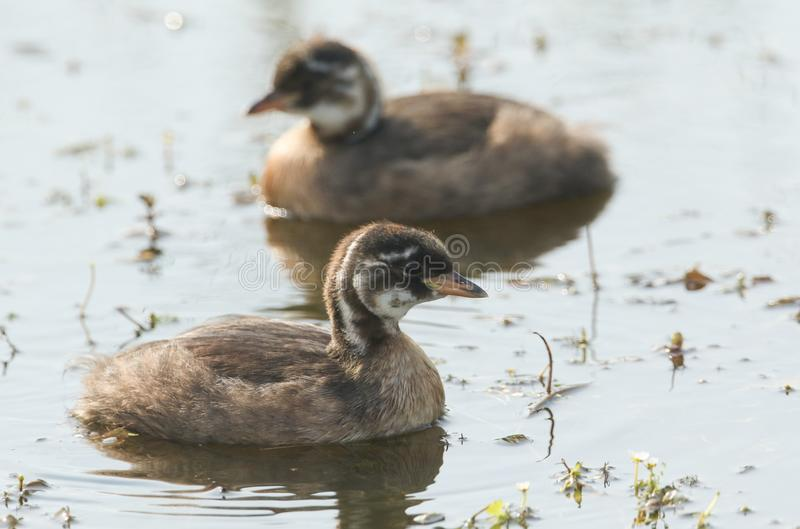 Two cute baby Little Grebe Tachybaptus ruficollis swimming in a lake hunting for food. Two sweet baby Little Grebe Tachybaptus ruficollis swimming in a lake stock images