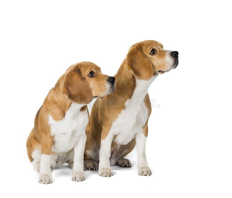 Beautiful Two Beagle Adorable Dog - two-cute-beagle-dog-isolated-white-background-113945628  Snapshot_16519  .jpg