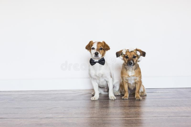 two cute beautiful small dogs wearing a bowtie and a roses wreath over white background. Wedding concept. Indoors stock photos