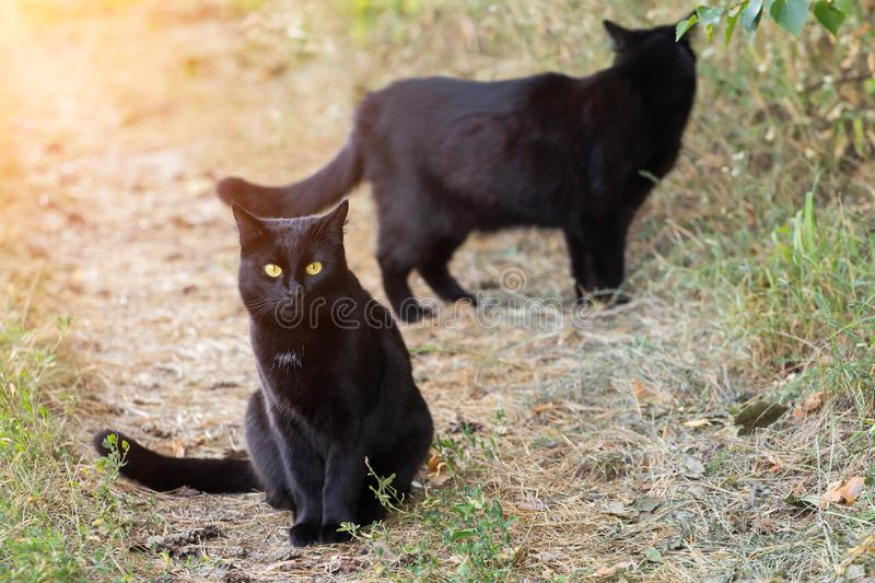Two cute black cats outdoors nature. Summer, autumn. Two cute beautiful black cats outdoors nature in sunlight. Summer, autumn stock photography