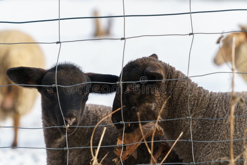 Two cute black lambs behind a wire fence royalty free stock photos