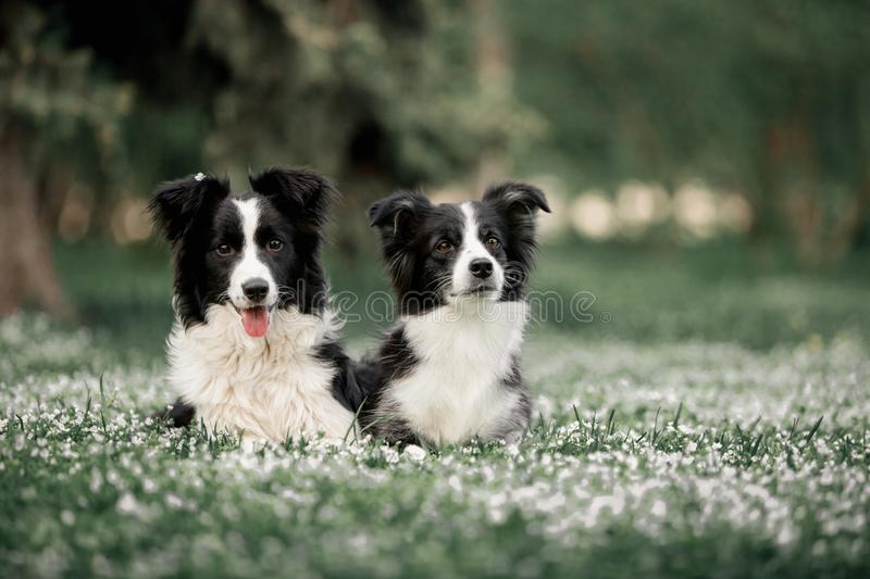 Two Cute Black And White Border Collies dog Family Laying. Inflowers royalty free stock photo