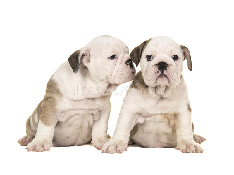 Two cute brown and white english bulldog puppy dogs sitting together one looking at the camera one looking at the other puppy like stock images