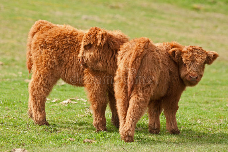 Two cute calf of highland cattle. Highland cattle or kyloe in Sweden are an ancient Scottish breed of beef cattle with long horns and long wavy coats royalty free stock photography