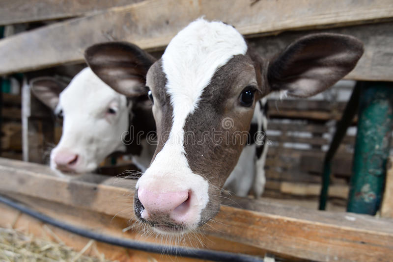 Two cute calves stock photography