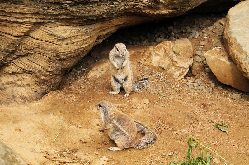 Cape ground squirrels. Two cute cape ground squirrels Xerus inauris royalty free stock photo