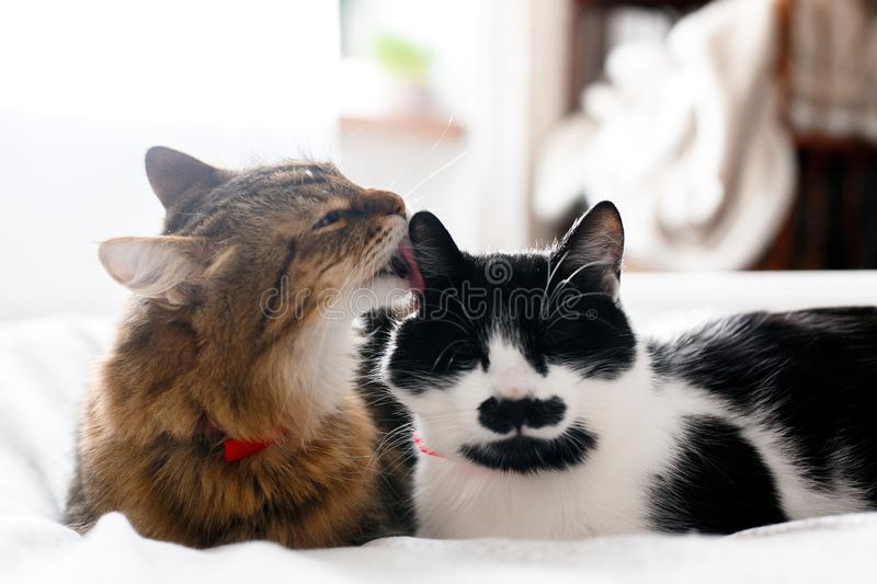 Two cute cats grooming on white bed in sunny stylish room. Maine coon licking and cleaning his funny friend cat with moustache, royalty free stock images