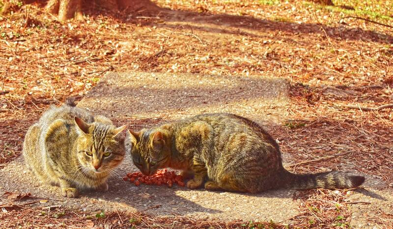 Two cute cats have a lunch. Two cute cats eat meal , in the park, on the ground royalty free stock images
