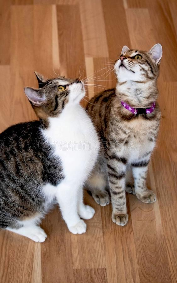 Cute cats are looking up, sitting on the floor, one of them is striped, another is striped with clear white chest. Two cute cats are looking up, sitting on the stock photos