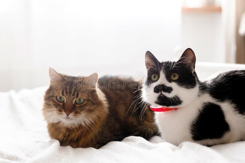 Two cute cats sitting and relaxing on white bed in sunny stylish room. Maine coon and cat with moustache resting with funny stock image