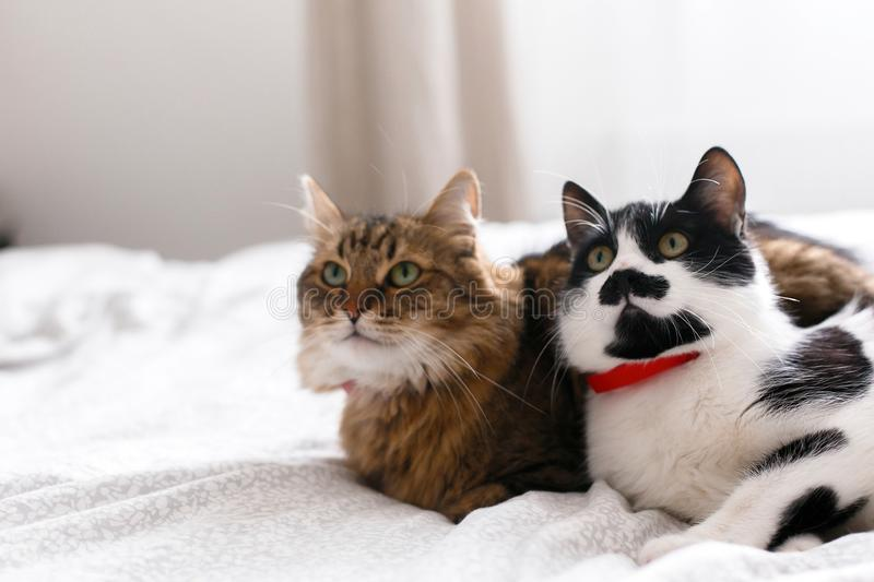 Two cute cats sitting and relaxing on white bed in sunny stylish room. Maine coon and cat with moustache resting with funny stock photo