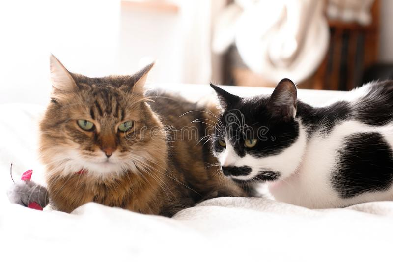 Two cute cats sitting with toy mouse on white bed in sunny stylish room.Maine coon and black and white cat with moustache relaxing royalty free stock photo