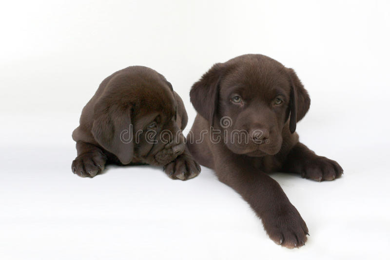 two cute chocolate labrador retriever puppies royalty free stock image