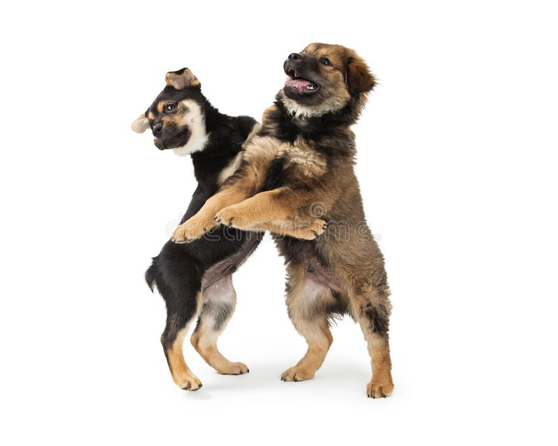 Two Chow and Rottweiler Crossbreed Puppies Playing royalty free stock photo