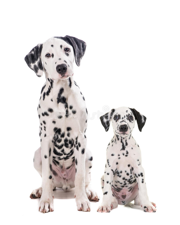 Two cute dalmatian dogs father and son. Two cute dalmatian dogs one adult and one puppy sitting and facing the camera isolated on a white background stock photography