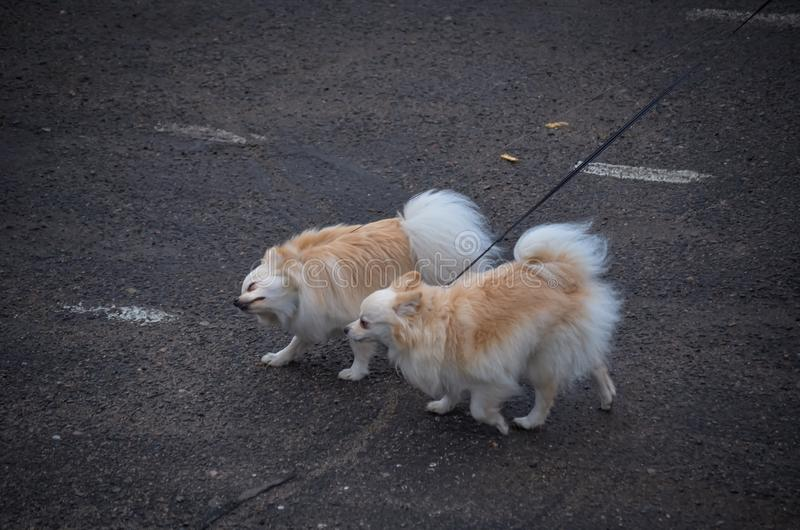 Two cute dogs of the Chihuahua breed are running along an asphalt road on leashes towards the wind. Little dog show exhibitors. stock photo