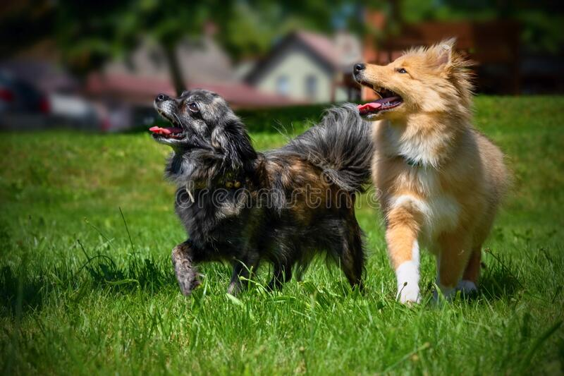 Two cute dogs chihuahua and sheltie on garden lawn. Two cute dogs, chihuahua on the left, sheltie puppy on the right, or two hairy friends on garden lawn stock photo