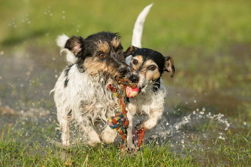 Two cute Jack Russell Terrier dogs playing and fighting with a ball in a water puddle in the snowless winter. Two cute dogs playing and fighting with a ball in a stock image