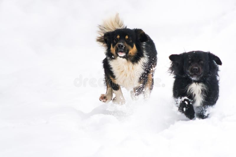 Two cute dogs running in the snow at winter stock photos