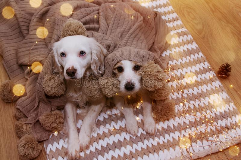 TWO CUTE DOGS UNDER CHRISTMAS LIGHT WRAPPED WITH A BEIGE TASSELL BLANKET royalty free stock photography
