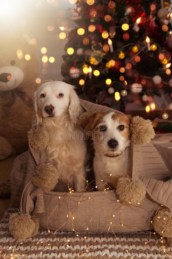 TWO CUTE DOGS UNDER THE CHRISTMAS LIGHT WRAPPED WITH A TASSELL BLANKET royalty free stock image