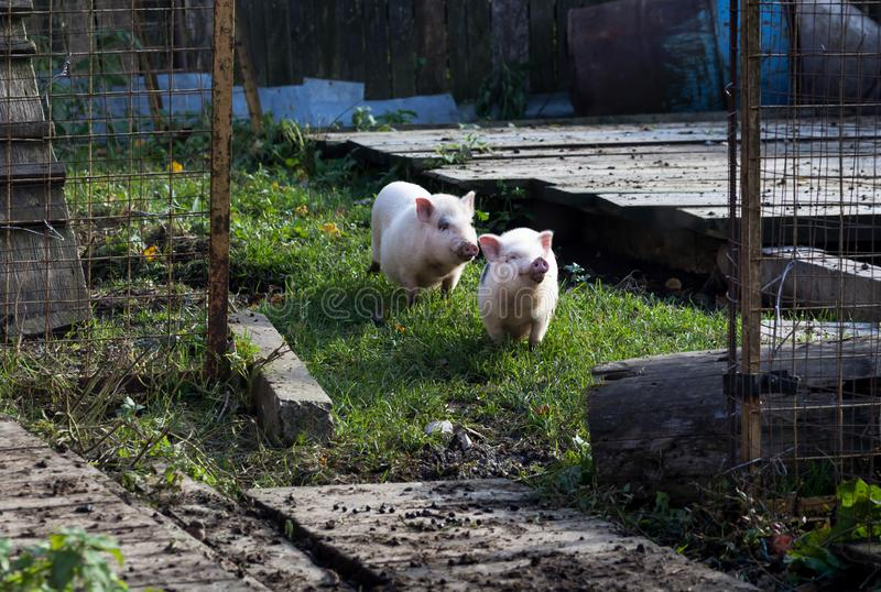 Two cute domestic pink Vietnamese pigs on a walk on a mini organic farm royalty free stock images