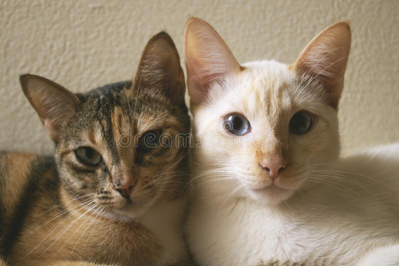 Two cute domestic short hair cats snuggle with one another. Two kittens leaning on each other together as friends. Love royalty free stock photo