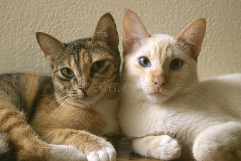 Two cute domestic short hair cats snuggle with one another. Two kittens leaning on each other together as friends. Love stock image
